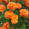 Chrysanthemum 生き残った菊