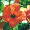 今日の誕生花「ハイビスカス」ハイビスカスはレイと髪飾り!フラダンスには欠かせない花!