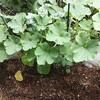 夏野菜が育ってきました