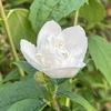 バイカウツギが開花しました.白色が映え,「まるでウェディングドレスのよう」と言っていた友人の訃報が届きました.我が家で今咲いている白花を集めてみます.