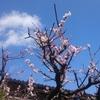 梅の花を見て梅酒を想像