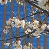 八重桜並木(石川県庁本庁舎)