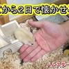 【ハムスター 動画】ハムスターを飼って2日で懐かせる方法!なつけば手乗りも簡単に出来る!#99