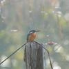 早朝探鳥、善福寺公園のジョウビタキはまだ…/2018-10-29・11-1