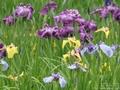 再び、横須賀しょうぶ園へ☆花菖蒲を見てきました☆