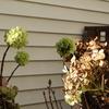 最近の庭 - 紫陽花、クロッカス、シクラメン