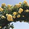 バラ栽培講座(12) 9月~11月(秋)の時期のお世話