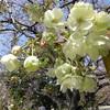 鬱金(うこん)という黄色い桜・・・ほか 新宿御苑