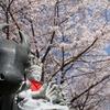 桜旺盛な高取山登頂 (壺阪寺散策)