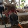【Pipo Pony Club】パタヤで、乗馬やファイヤーショーが楽しめるポニークラブ!