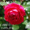 レッドレオナルドダビンチ 京成バラ園にて 2011春 2011/05/31  レオナルドダビンチの赤