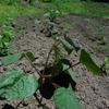 先週は「農作業ウィーク」だった。ある程度の面積がある家庭菜園で、初心者向けの作物はこれだ。