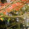 紅葉にヒヨドリ