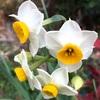 スイセンの花たち