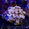 (海水魚 サンゴ)沖縄産 ツツウミヅタ ナローポリプ Sサイズ(1個) 北海道航空便要保温