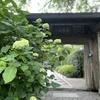 鎌倉あじさい寺「明月院」を訪ねて