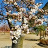 開成山公園の桜