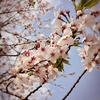 桜(ショートショート)