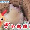 【ハムスター 動画】ハムスター🐹ハムハムインタビュー中にする大あくびがとても可愛い♪#52