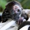 サルが電線で感電してしまう事故が多発する南米 絶縁ケーブルの普及に向けた活動が進む