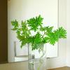 枝ぶりの良いローズゼラニウムをガラス花瓶に♪ 玄関がさわやかな香りに♪ 天然の芳香剤 (^^)
