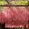 江南・曼陀羅寺公園の藤
