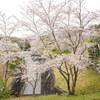 地元の桜めぐり「天野山 金剛寺」 Ⅴ