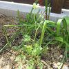 ダイカンドラの種を蒔きました