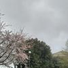 #576 遅い桜の開花宣言 in 静岡県東部