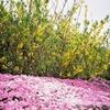 芝桜(徳島県美馬市広棚)を見てきました