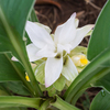 生姜の花が咲いた(裏庭の家庭菜園)