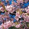 海と桜と風の強い日