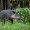 ベアードバク Tapirus bairdii