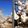 梅が咲きました(6)~地域振興のためのスマホ写真活用(21)