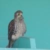 淀川河川敷の野鳥