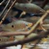 レッドフィンスポットレポリヌス Pseudanos trimaculatus