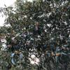 金木犀は2度咲く