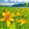 【沼】雄国沼。まだ間に合う一生に一度は見ておきたい絶景!福島県裏磐梯のニッコウキスゲ群生地。6月下旬から7月中旬まで