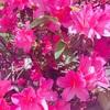道路の脇にツツジが咲いてる理由はすごすぎる。