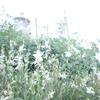 あめゆきの写真 (白い花)