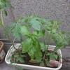 うちの菜園。