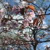 柳町公園の桜を見て