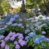 今年はすでに見ごろです。長谷寺の紫陽花が満開でした。