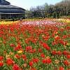 『いくとぴあ食花』新潟市中央区の「チューリップ」