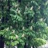 キャンドルの木