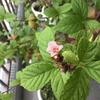 山桜桃梅が咲く