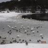 五十公野公園「ますがた」の鴨と白鳥 2018/2/18 身近な湖でグースにあった。