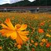 秋の山形市 立谷川のコスモス 秋の山寺観光をご紹介!
