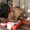 ツンデレ 寺猫(地域猫) しんたろう(大阪・道頓堀 法案寺 弁天さんのお寺)