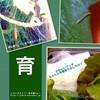 菜の花に付いていた幼虫の観察に初挑戦